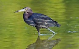 Garça-real de azul pequeno ( Egretta caerulea) pesca Imagens de Stock