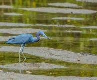 Garça-real de azul pequeno na reserva aquática da baía do limão em Cedar Point Environmental Park, Sarasota County, Florida Imagens de Stock