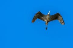 Garça-real de grande azul aérea Imagens de Stock