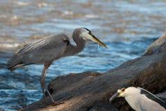 Garça-real de grande azul com os peixes no bico Foto de Stock Royalty Free