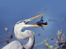 Garça-real de grande azul com um peixe Imagens de Stock Royalty Free