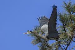 A garça-real de grande azul começa voar da árvore Fotografia de Stock