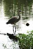 Garça-real de grande azul em O Lago das Cisnes e em Iris Gardens Imagens de Stock
