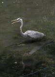 Garça-real de grande azul em O Lago das Cisnes e em Iris Gardens Fotos de Stock