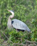 Garça-real de grande azul masculina na plumagem de acoplamento Foto de Stock Royalty Free