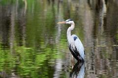 Garça-real de grande azul na lagoa Imagens de Stock