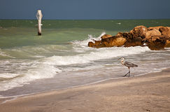 Garça-real de grande azul na praia de Sanibel, Florida Imagens de Stock