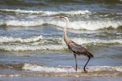 Garça-real de grande azul na praia, porto Aransas Texas Imagem de Stock