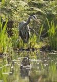 Garça-real de grande azul no pântano Fotos de Stock Royalty Free