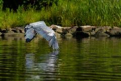 Garça-real de grande azul no voo do amanhecer Foto de Stock Royalty Free