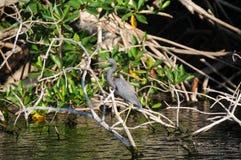 Garça-real de grande azul nos manguezais Fotos de Stock