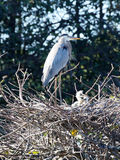 Garça-real de grande azul que guarda Hatchlings Imagem de Stock