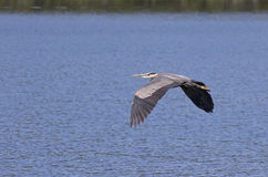 Garça-real de grande azul que voa sobre a água Foto de Stock Royalty Free
