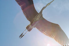 A garça-real de grande azul voa em cima Imagem de Stock Royalty Free