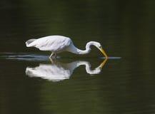 Garça-real de grande branco durante a caça Imagem de Stock Royalty Free