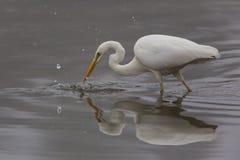 Garça-real de grande branco (egret alba) Fotografia de Stock Royalty Free