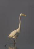 Garça-real de grande branco (Egretta alba) Fotografia de Stock