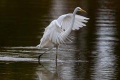 Garça-real de grande branco (Egretta alba) Foto de Stock Royalty Free