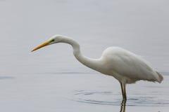 Garça-real de grande branco (Egretta alba) Fotos de Stock Royalty Free