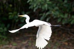 Garça-real de grande branco em voo Foto de Stock Royalty Free
