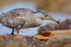 Garça-real de noite cinzenta do pássaro de água que senta-se na pedra, na água, peixes na conta Imagem de Stock Royalty Free