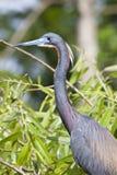 Garça-real de Tricolored - Egretta Tricolor foto de stock