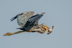 Garça-real do roxo do pássaro Fotos de Stock