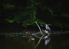 Garça-real e Duck Enjoying Peacefully no lago Foto de Stock