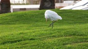 Garça-real egípcia ocidental A garça-real está procurando insetos na grama video estoque