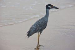 Garça-real elegante na praia Imagens de Stock Royalty Free