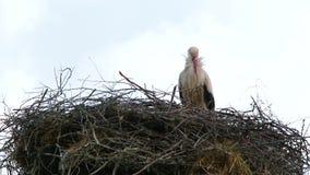 Garça-real em um ninho alto vídeos de arquivo
