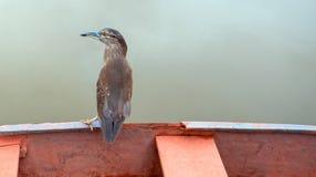 Garça-real estriado adulta [striata dos butorides] empoleirada no barco imagens de stock royalty free