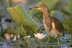 Garça-real indiana da lagoa Fotos de Stock Royalty Free
