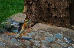 Garça-real indiana da lagoa Imagem de Stock