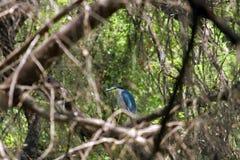 Garça-real indiana da lagoa Fotografia de Stock Royalty Free