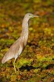 Garça-real indiana da lagoa, grayii do grayii de Ardeola, no habitat do pântano da natureza, Sri Lanka Foto de Stock