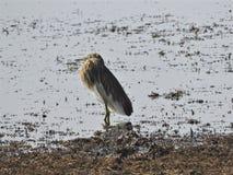 Garça-real indiana surpreendente da lagoa foto de stock