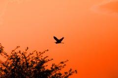 Garça-real mostrada em silhueta no céu do por do sol Imagens de Stock