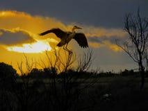 A garça-real no por do sol empoleirou-se em um ramo em África Fotos de Stock