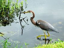 Garça-real ou Egretta de Tricolored tricolor foto de stock