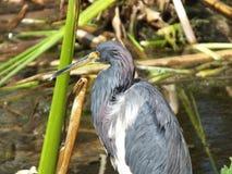 Garça-real ou Egretta de Tricolored tricolor fotografia de stock