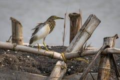 A garça-real ou o paddybird indiano da lagoa Imagem de Stock Royalty Free