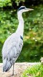 Garça-real que espera um peixe no lago Fotos de Stock Royalty Free