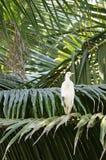 Garça-real que senta-se nas folhas das palmeiras Foto de Stock
