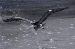 Garça-real que voa sobre o gelo Fotos de Stock Royalty Free