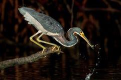 a garça-real Tri colorida que trava um peixe da isca perto de Wiggins passa, florido imagem de stock
