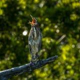Garça-real verde, ` de bocejo do ` Fotografia de Stock