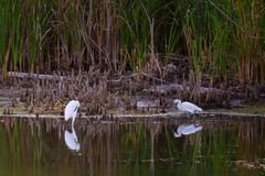 Garças-reais brancas no lago fotos de stock royalty free