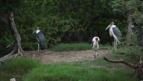 Garças-reais de grande azul no parque dos animais selvagens banguecoque filme