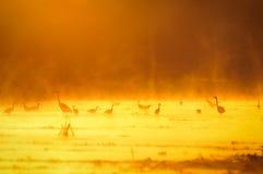 Garças-reais no por do sol Imagens de Stock Royalty Free